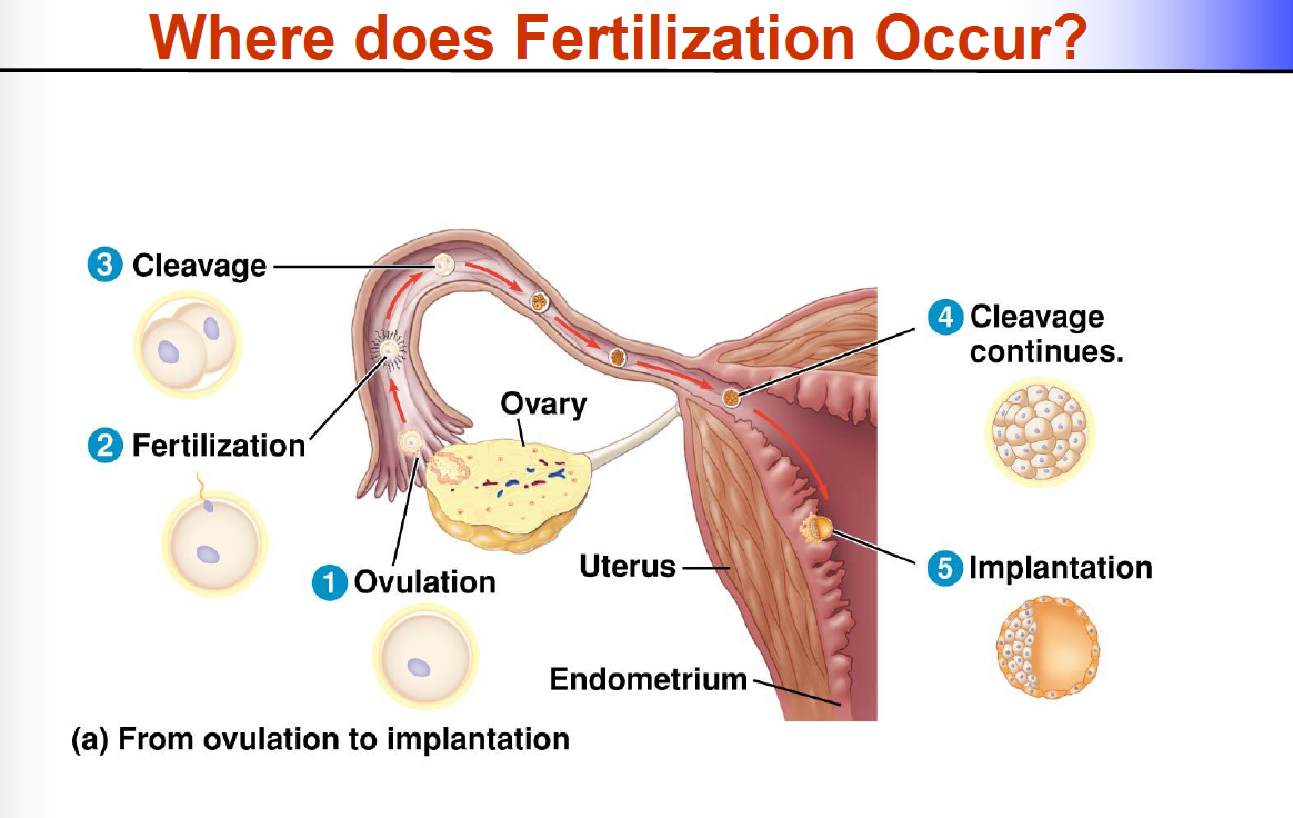 Fertilization Implantation 417 Repro Flashcards Memorang