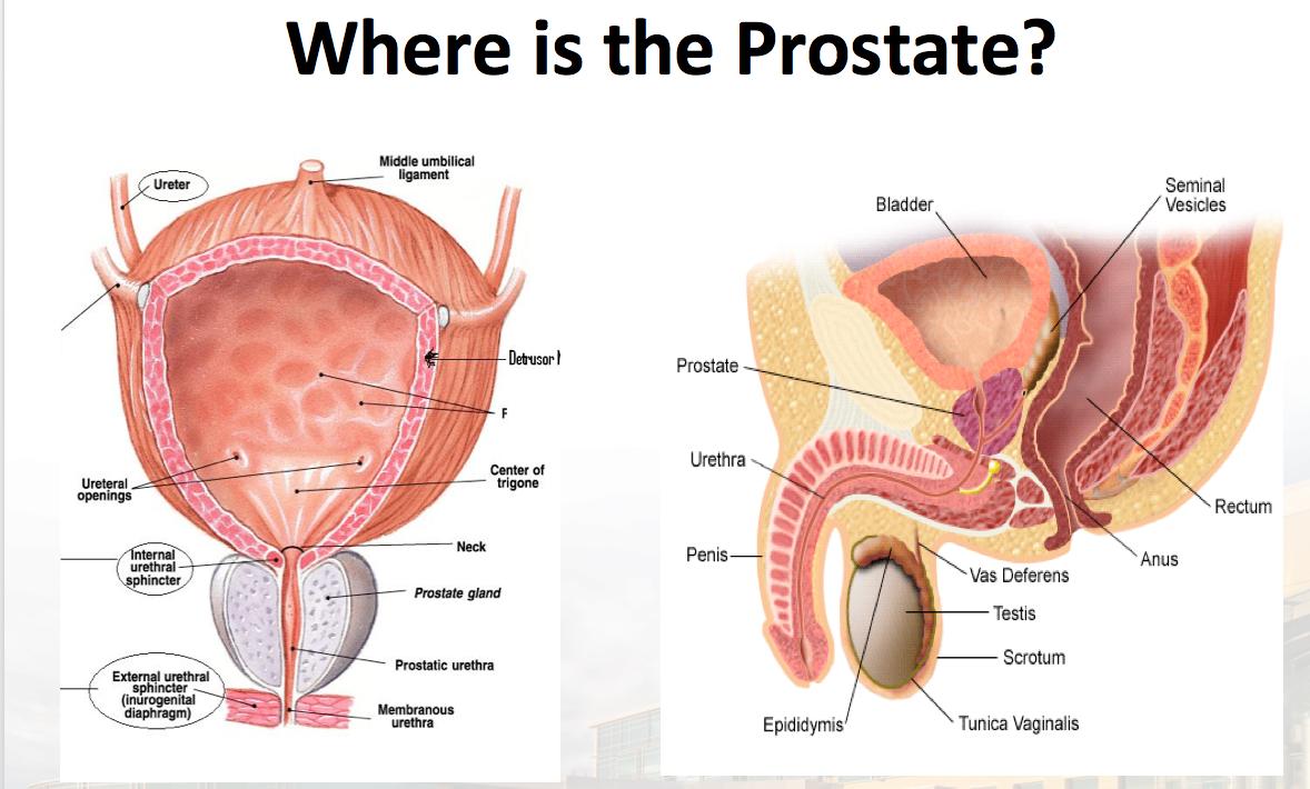 12 Zone Prostate Diagram Block And Schematic Diagrams
