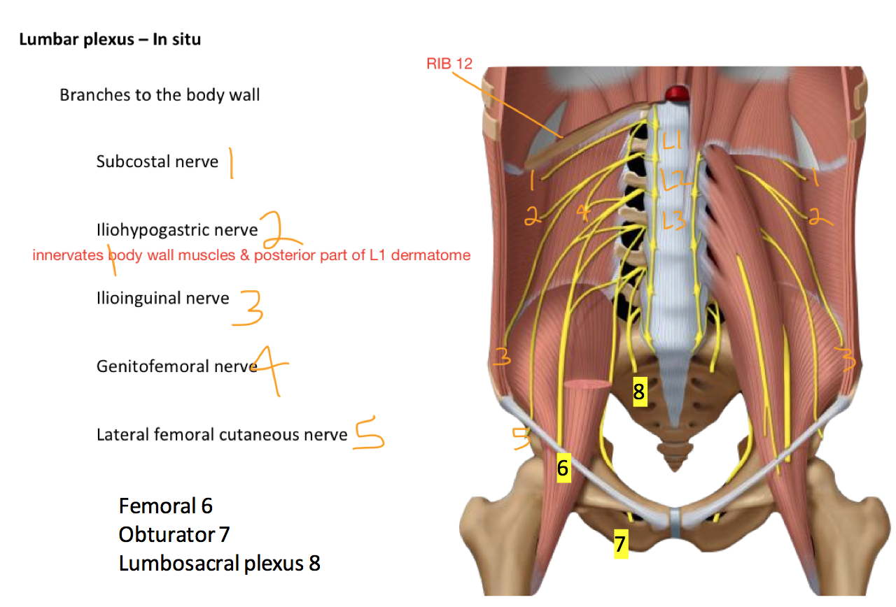 Week 16 - Hip & Knee (Anatomy) (Phase 1) Flashcards | Memorang