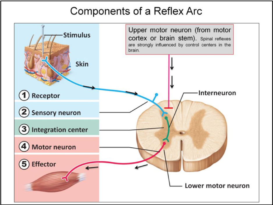 Week 12 spinal reflexes physiology phase 1 flashcards memorang ccuart Gallery