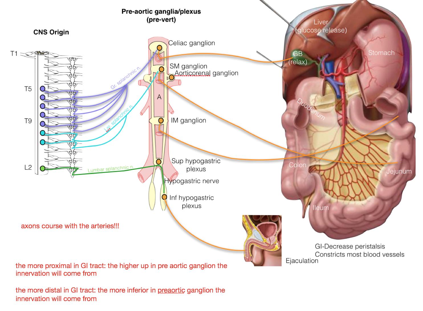 Anatomy Of Gi Tract Image collections - human body anatomy