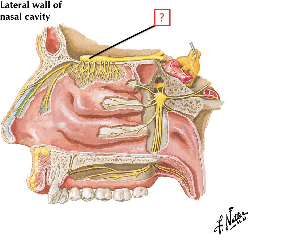 Nerves Of Nasal Cavity And Palate Flashcards Memorang