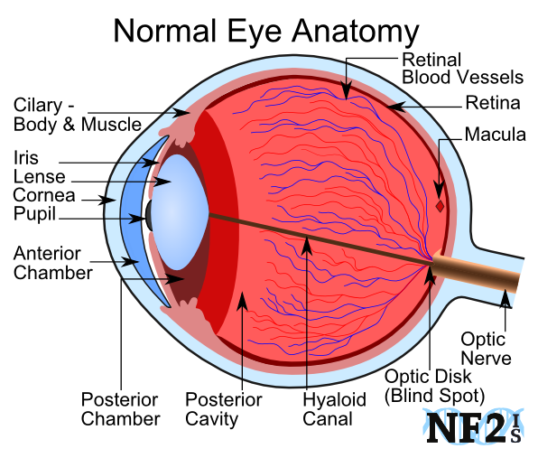 Anatomy Of The Eye Anatomy Of The Eye Flashcards Memorang