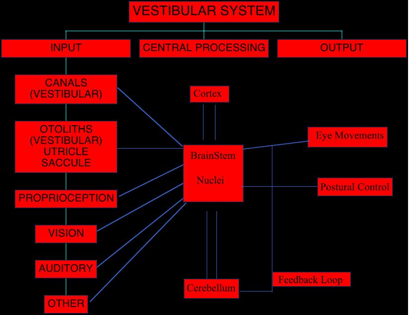 5.01 - Vestibular System Overview (Neuro   John Oas) Flashcards ...
