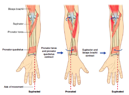 upper extremity muscles/tendons function (gross anatomy, Human Body