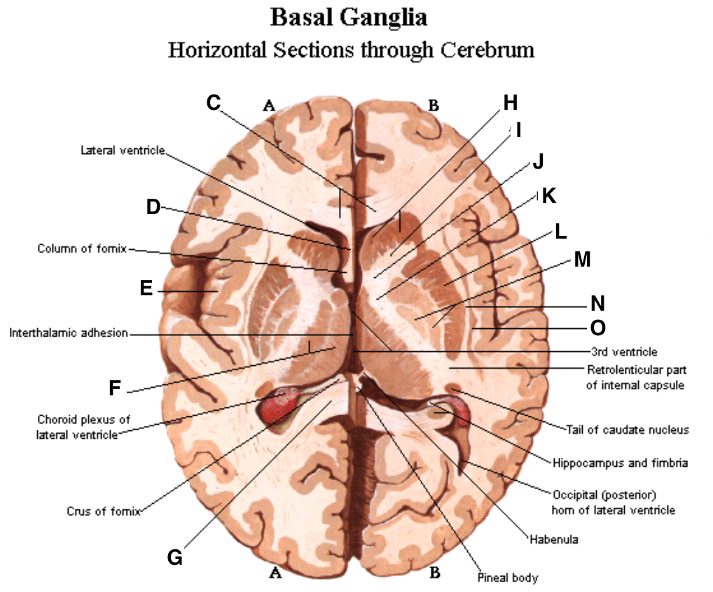 Brain (Anatomy) Flashcards | Memorang