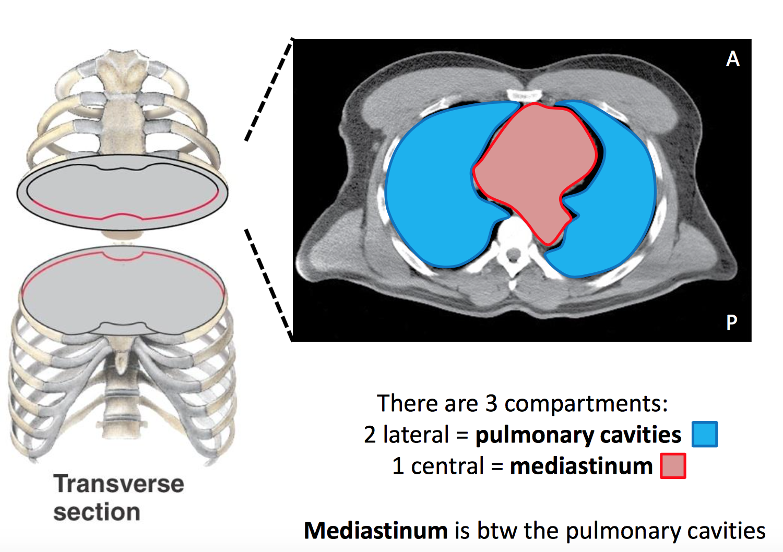 GS G22 Middle Mediastinum (Anatomy Unit 3) Flashcards   Memorang