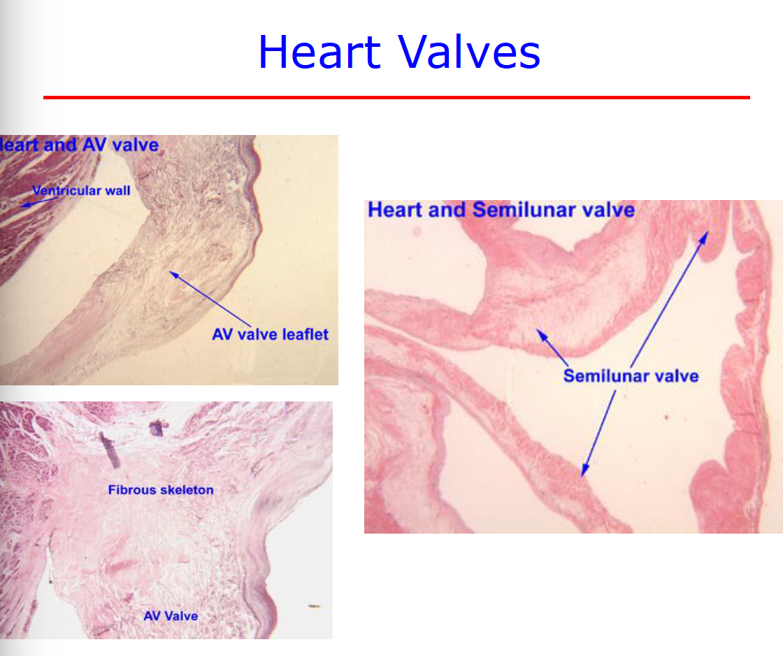 Histology Of The Heart 822 Cardio Flashcards Memorang