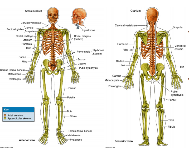 Msk Final Basic Anatomy Msk Flashcards Memorang