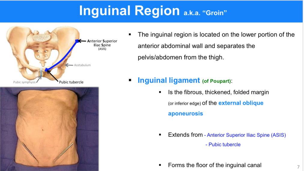 INGUINAL REGION, TESTES AND SCROTUM (ANATOMY) Flashcards | Memorang