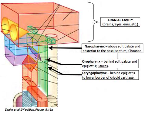 Pharynx, Nasal Cavities and Palate (CNS) Flashcards | Memorang