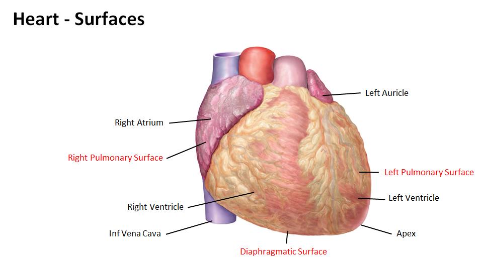 Heart notes (Aug 25) Flashcards | Memorang