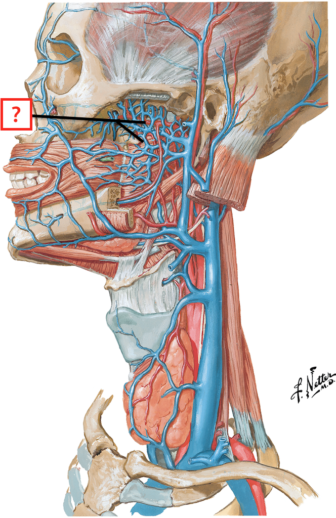 Veins of the Face and Neck Flashcards | Memorang