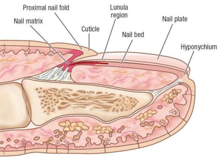 L36 Introduction To Skin Iasm Semester 1 Flashcards Memorang