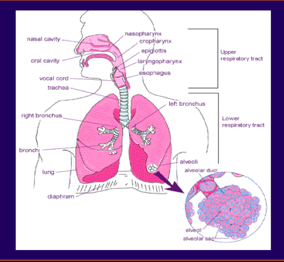 1-28, Upper Airway Disorders (McCallister) Flashcards | Memorang