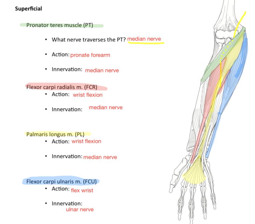 Week 15 - Forearm & Hand (Anatomy) (Phase 1) Flashcards | Memorang
