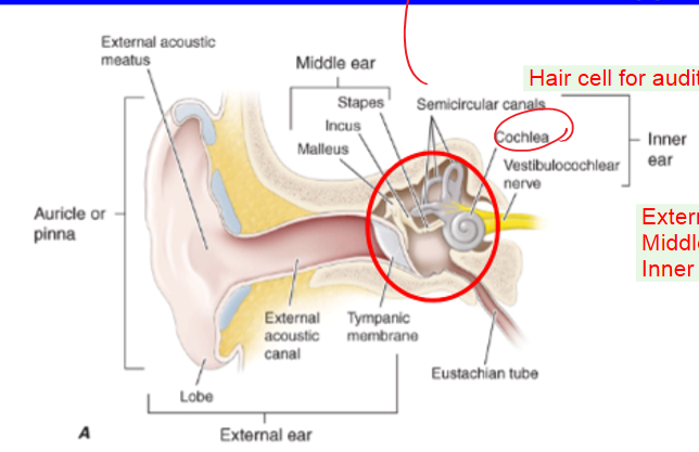 Special senses hearing and balance neuro flashcards memorang ear anatomy ccuart Choice Image