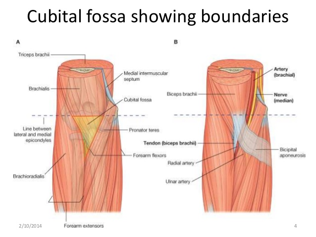 005B - Cubital Fossa and Flexor Compartment (Anatomy) Flashcards ...