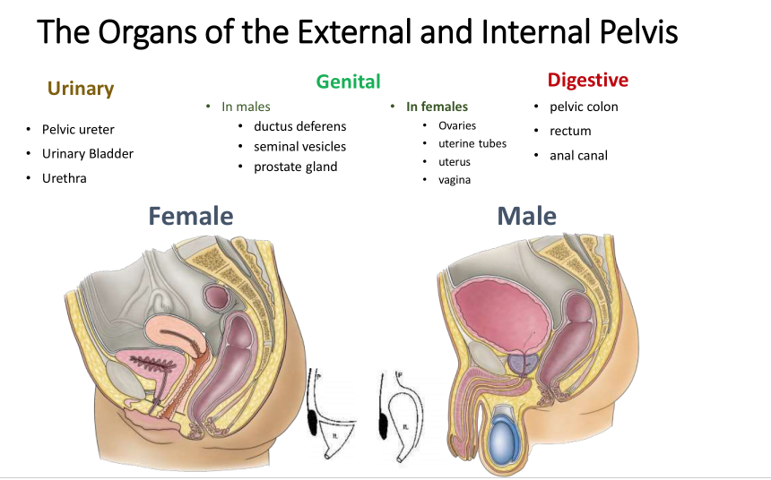 Pelvis And Perineum Ii Anatomy Flashcards Memorang
