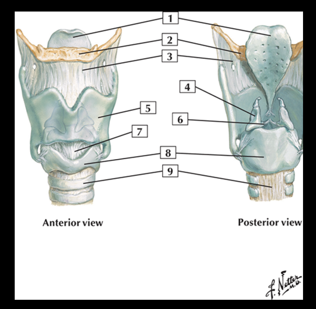 Pharynx & Larynx (Head & Neck) Flashcards | Memorang