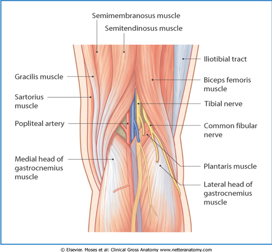 010 - Posterior Compartment of Leg (Anatomy) Flashcards | Memorang