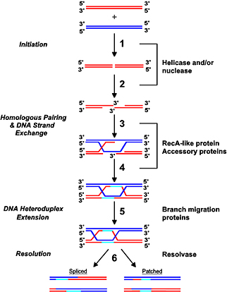 Gene transfer emma basaran flashcards memorang holliday modeljunction ccuart Images
