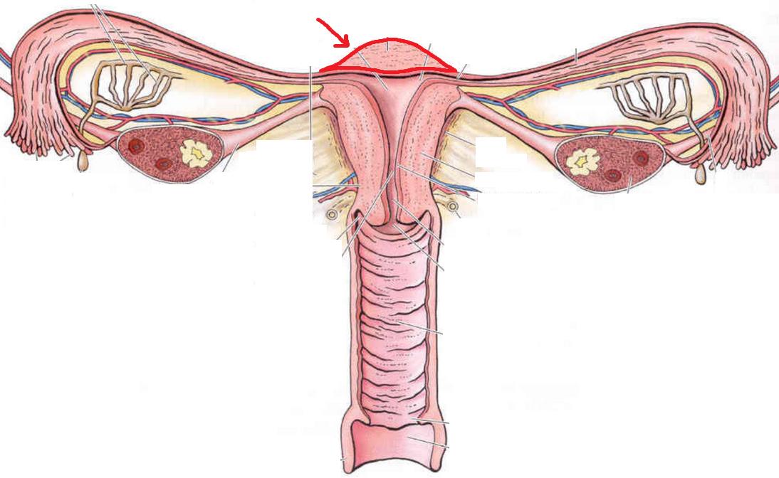 Gynecology (Female Genital Anatomy) Flashcards | Memorang