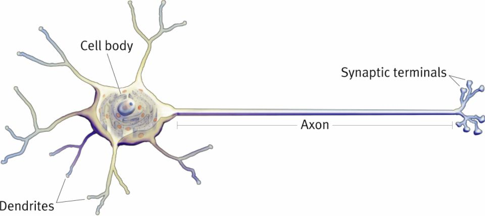 The nervous system i neuron structure mcat 2018 biology neuron ccuart Image collections