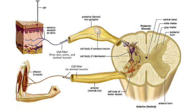 Autonomic Nervous System (Cardio) Flashcards   Memorang