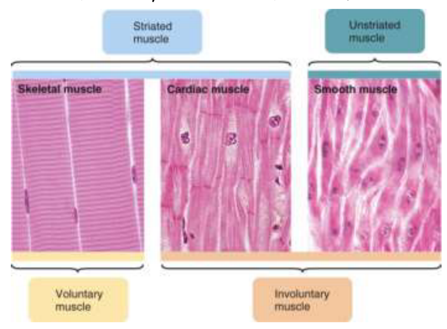 Physiology 1 Block 2 Sk M Flashcards Memorang