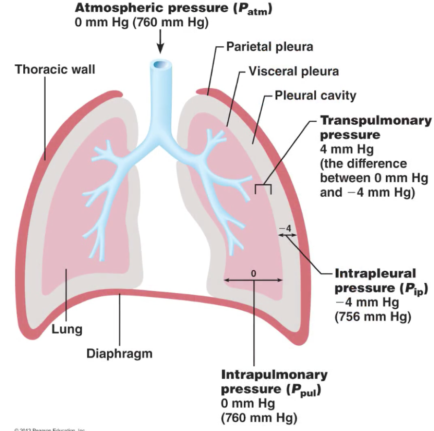 Respiratory system lecture 2 pulmonary ventilation and gas laws respiratory system lecture 2 pulmonary ventilation and gas laws flashcards memorang ccuart Images
