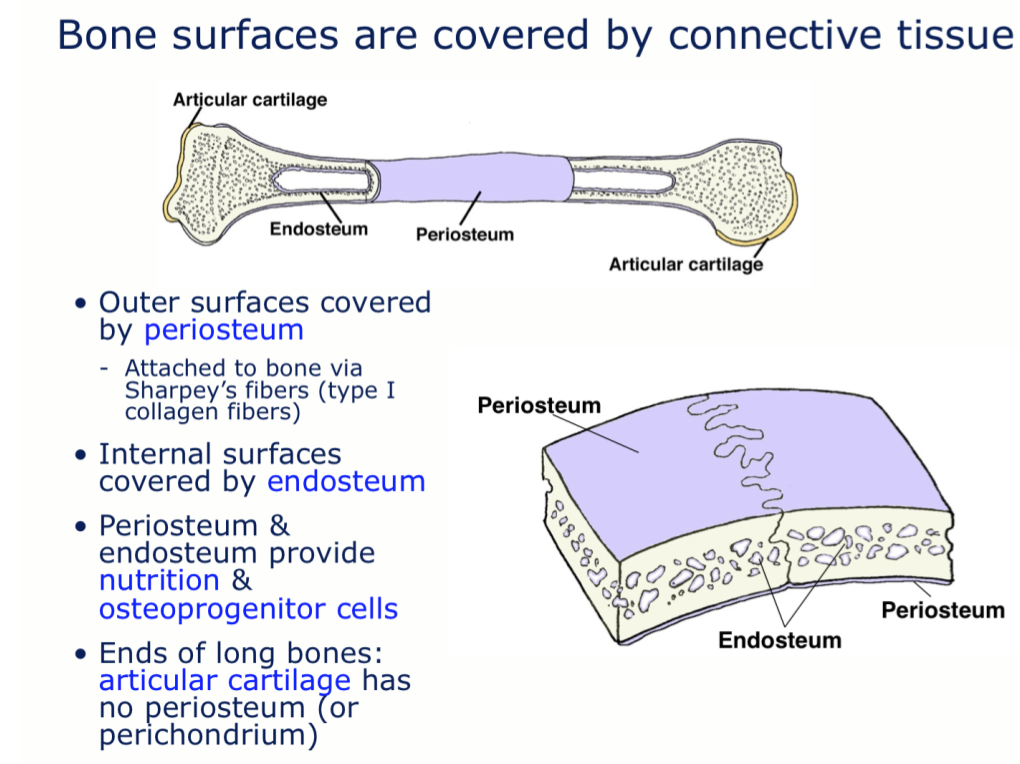 Week 14 Bone Histology Phase 1 Flashcards Memorang