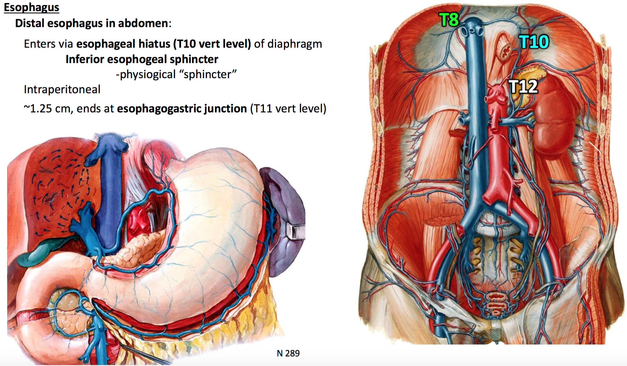 16. Anatomy G29 Foregut I (Terms from GSAnatomy G29 Foregut I ...