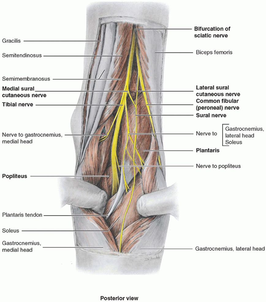 010 - Posterior Compartment of Leg (Anatomy) Flashcards | Memorang