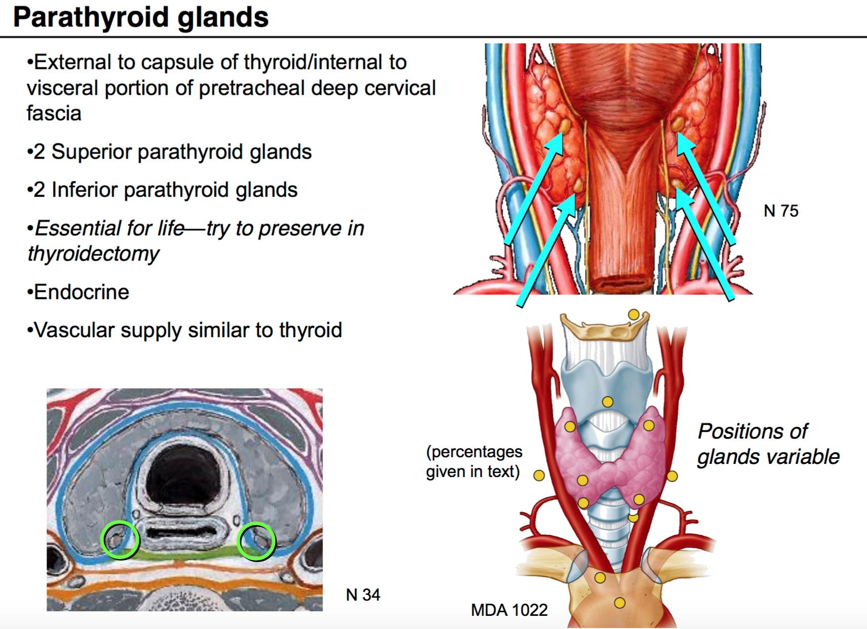 Ungewöhnlich Thyroid Surgery Anatomy Fotos - Menschliche Anatomie ...