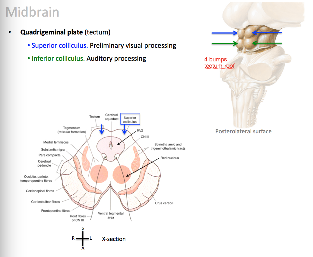 Anatomy: Brainstem (Tuesday) Flashcards | Memorang