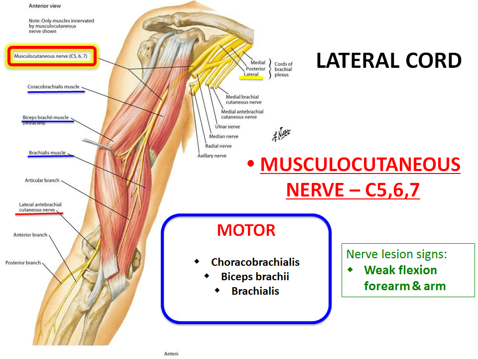 INnervation of Upper Extremity (Gross Anatomy) Flashcards | Memorang
