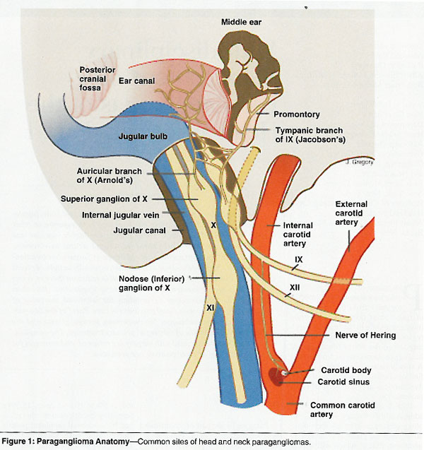 Jugular Vein Anatomy Image Collections Human Body Anatomy