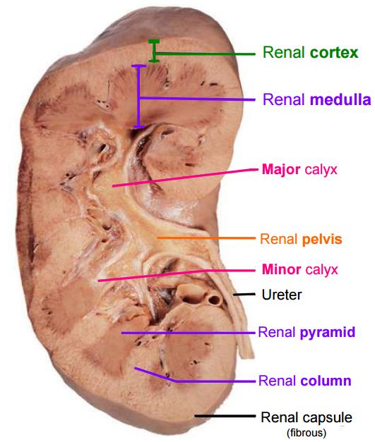 Kidney and Suprarenal Gland (Gross anatomy) Flashcards | Memorang