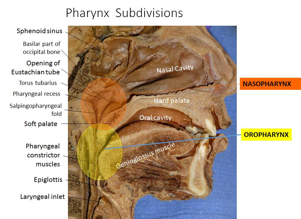 Lecture 3 Pharynx (Gross Anatomy Unit 6) Flashcards | Memorang