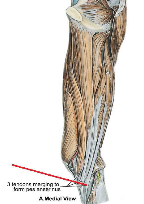 Anatomy 14 Hip Thigh Knee Msk Ii Flashcards Memorang