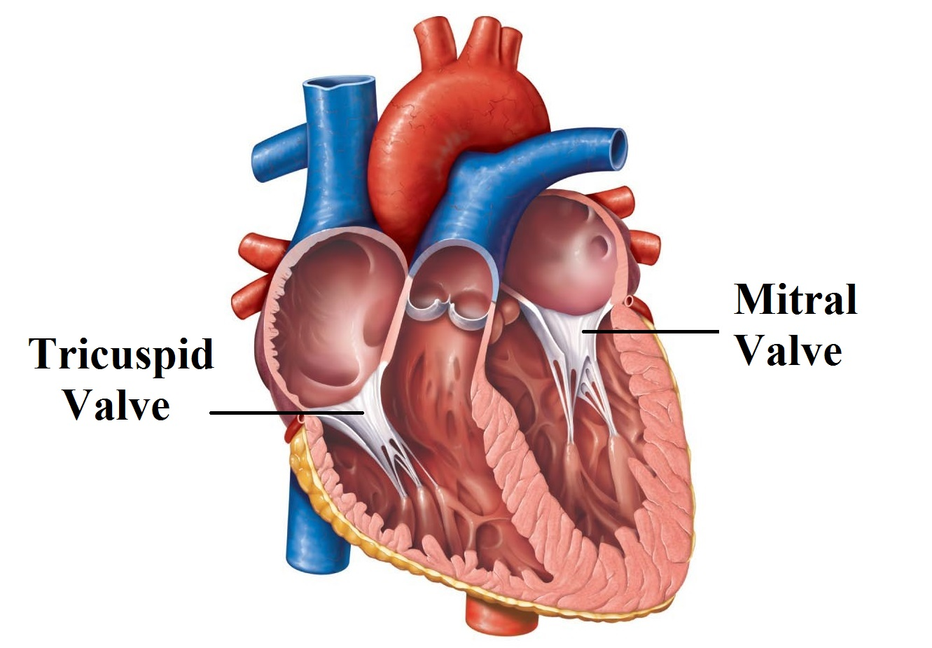 The Cardiovascular System Part I: Heart Functional Anatomy (MCAT ...