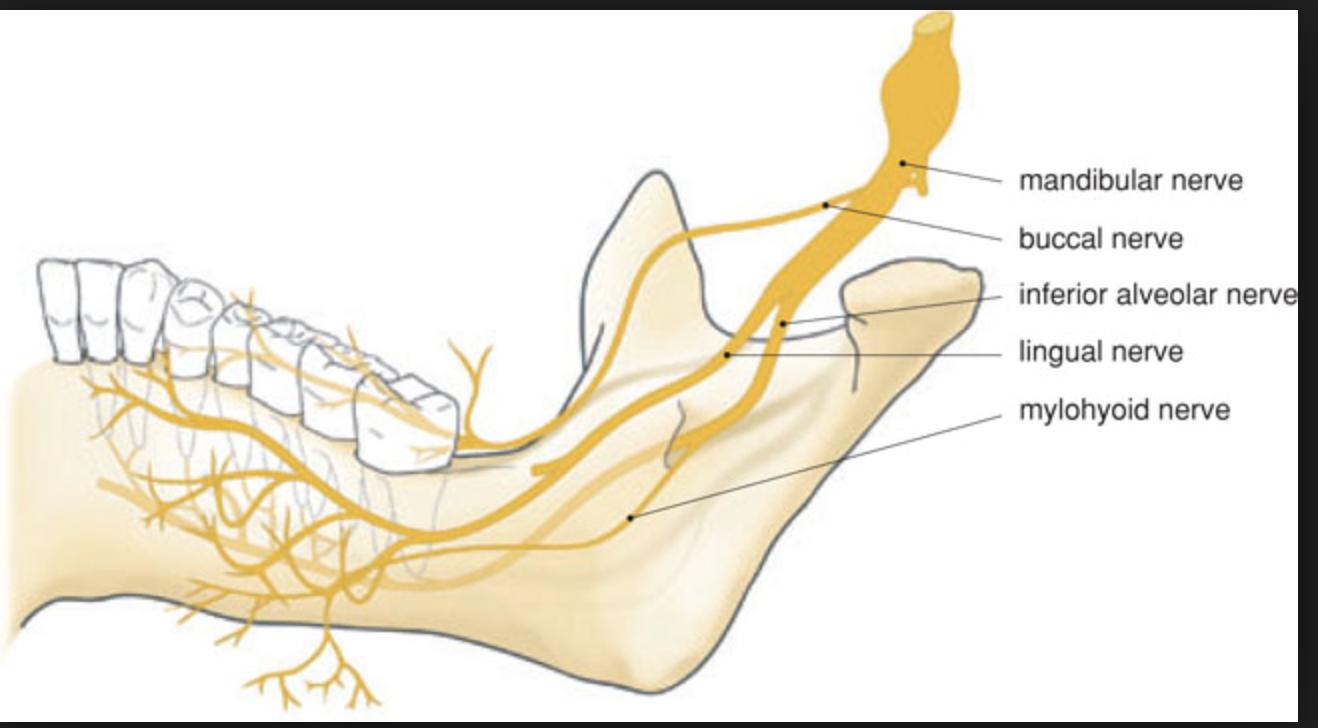 Gross Anatomy (Neuro) Flashcards   Memorang