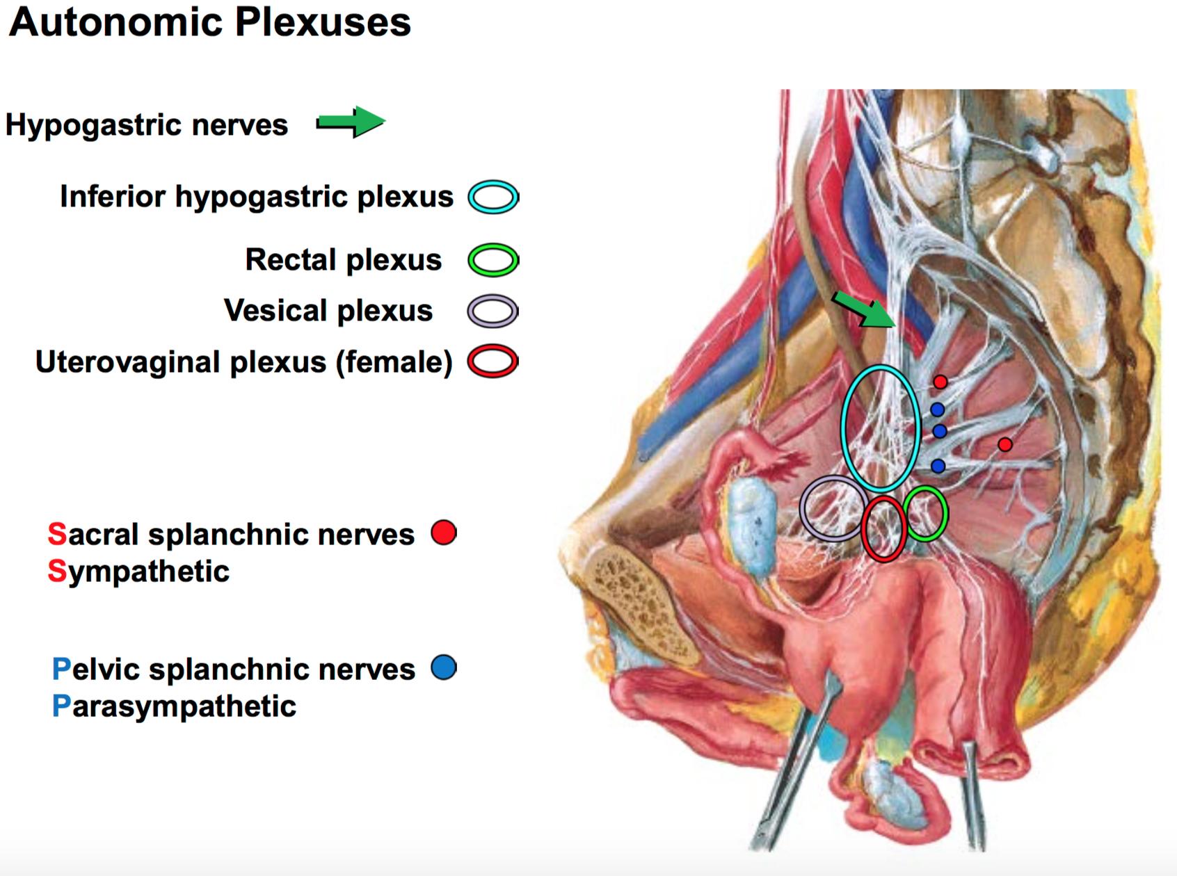 GS G41 Visceral Innervation of the Pelvis & Perineum (Anatomy Unit 5 ...