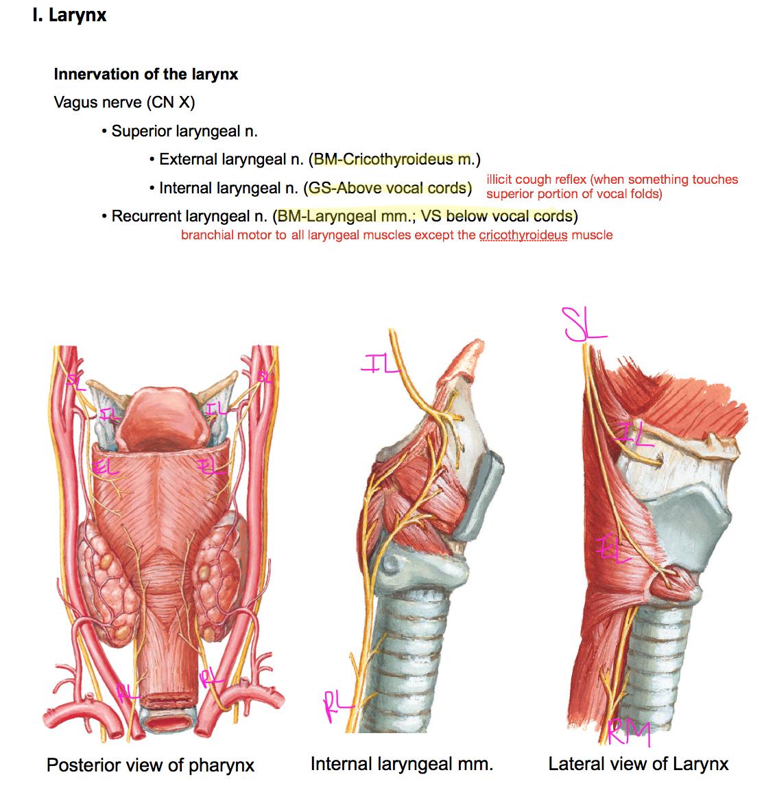 Schön Larynx Und Speiseröhre Anatomie Galerie - Anatomie Von ...