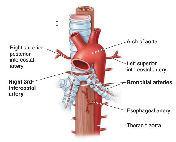 Horizontal Fissure And More Terms From Anatomy Pleurae Lungs