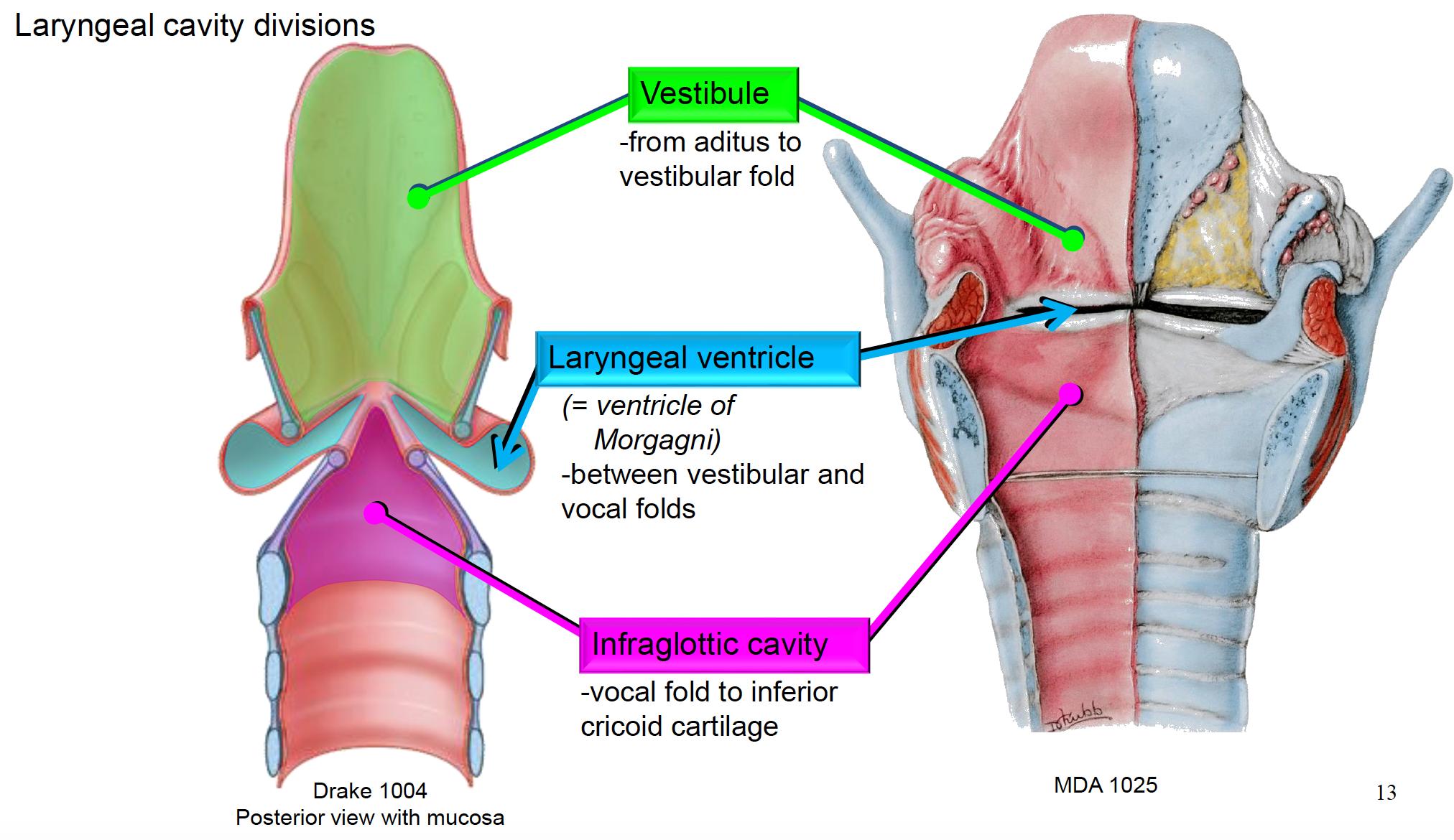 Anatomy G66 Larynx (Anatomy Unit 8) Flashcards | Memorang