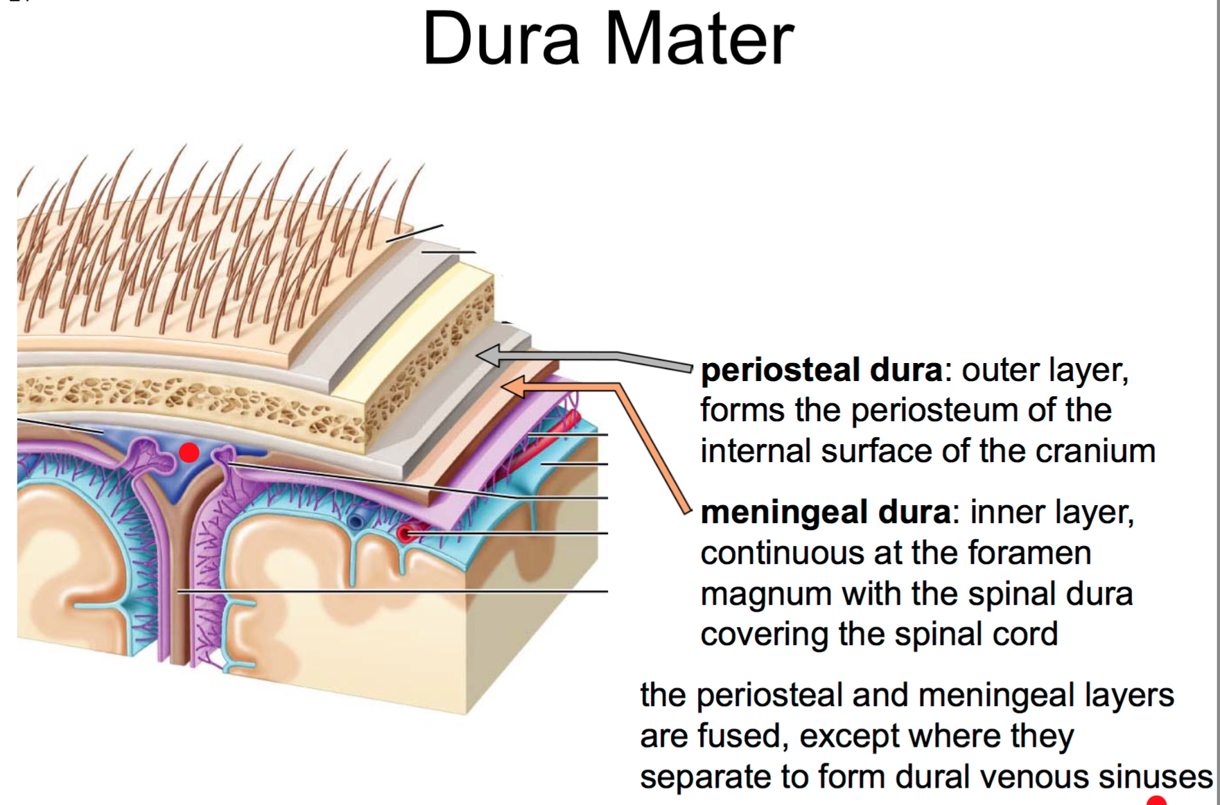 26. Anatomy G56 Brain, Dura, & CNS Blood Supply Flashcards   Memorang
