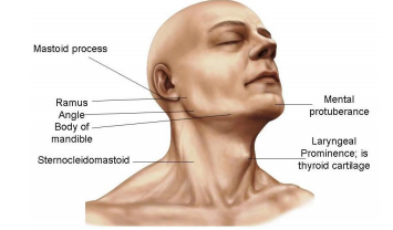 The Anterior Triangle And Root Of The Neck Cns Flashcards Memorang