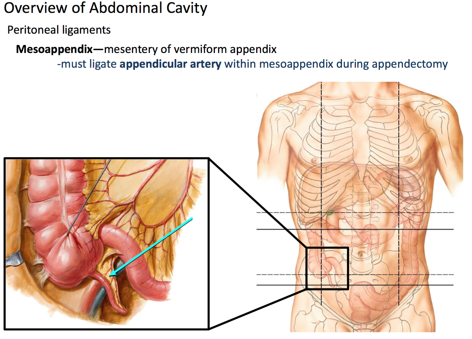 Anatomy G28b Orientation to Abdominal Cavity (anatomy) Flashcards ...